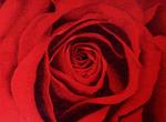 rote-roserote-rose.png