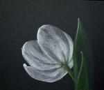 tulpe-auf-schwarzp1080662b.png
