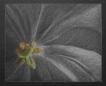 tulpe-x2.jpg