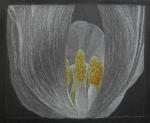 tulpe.-2.jpg