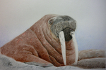 walrosswalross.png
